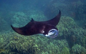 Bali-Scuba-Diving-Snorkeling-mantaray